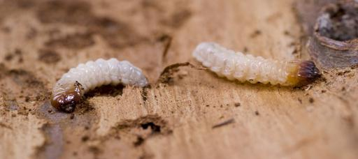 Two woodworms or wood boring worms on timber